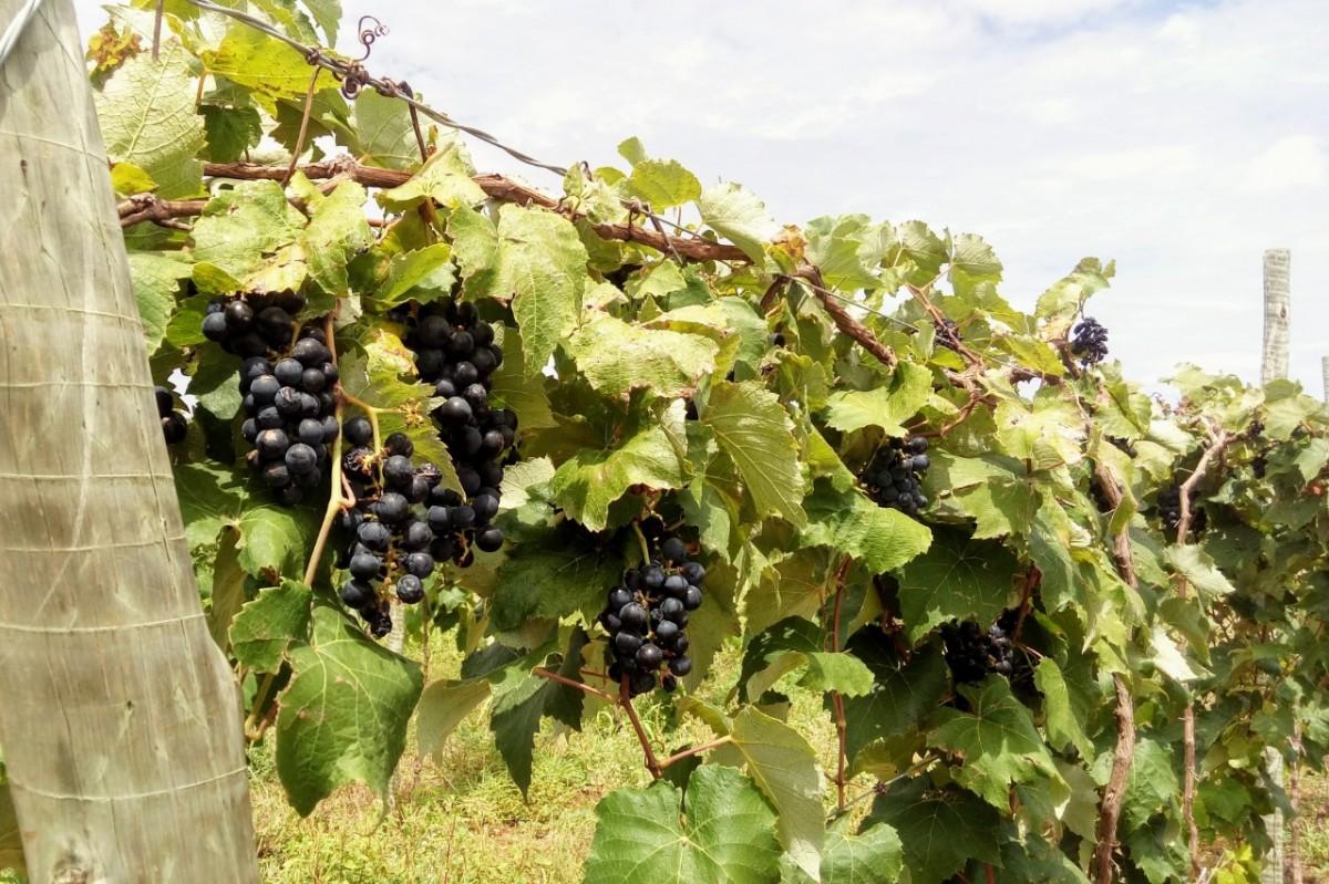Canindé passa a produzir uva e pera a partir de parceria entre Embrapa e Cohidro (Foto: Fernando Augusto)