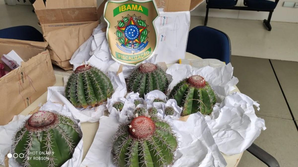No Dia Nacional da Caatinga, Ibama apreende cactos em extinção (Foto: Ibama/SE)