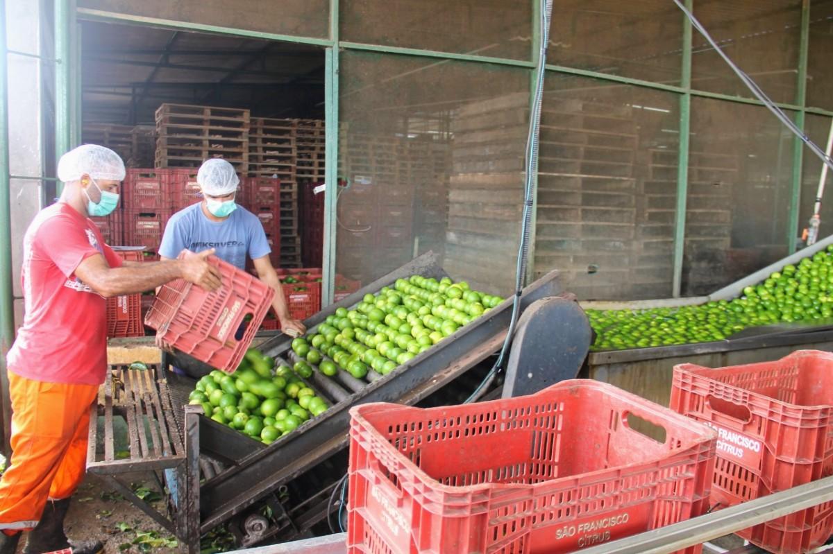 Platô de Neópolis exporta limão Taiti irrigado para o mercado europeu (Foto: Fernando Augusto/ Cohidro/SE)